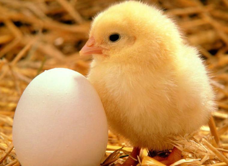 Gà con Húc Húc tuyệt đối không phải là một con gà cánh to giò chắc. Chữ Đại Kê trong tên nó đơn giản vì nó là gà trống chính hiệu. Bởi vì gà mẹ vô ý đã đá văng Húc Húc ra khỏi tổ khi nó còn trong trứng. Đối diện với thế giới quan mới mẻ, nó rốt cuộc cũng tìm đươc mẹ rồi ah~